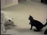 Un chien Bull Terrier et un chat complices virevoltent