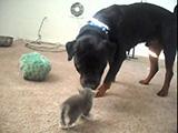 Ce gros chien Rottweiler fait bon ménage avec les chatons