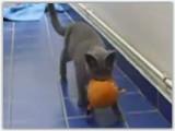 Un chartreux joue à rapporter sa balle