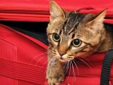Le mal des transports chez le chat