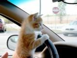 Faire du covoiturage avec son chat