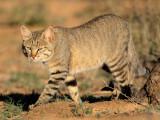 Les chats sauvages dans le monde