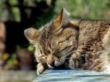 « Le petit chat est mort », par Renaud