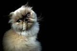 Suisse - Nouvelle arme contre l'allergie aux chats