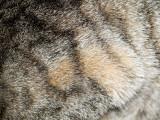 Particularités et physiologie du pelage du chat