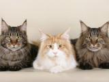 Les plus grandes races de chats