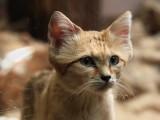 Le chat des sables