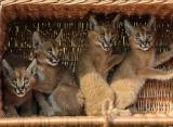 Présentation de bébés lynx