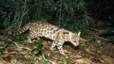 Une nouvelle espèce de félin identifiée au Brésil grâce à son ADN  En savoir plus: http://www.maxisciences.com/oncille/une-nouvelle-espece-de-felin-id