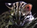 Un chat-léopard photographié dans le Primorié (Russie)