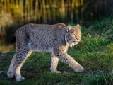 Le lynx dans les Vosges, un retour qui se fait attendre