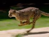 Le guépard, le félin le plus rapide