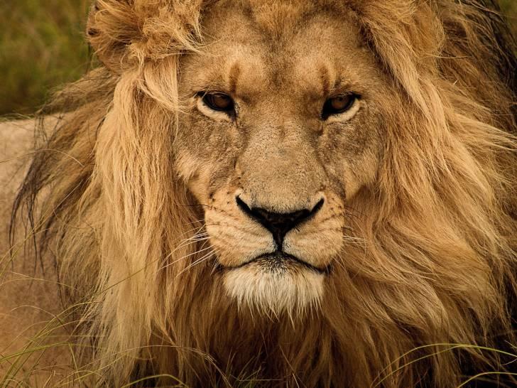 Le Lion Morphologie Alimentation Mode De Vie