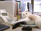 Une entreprise japonaise incite ses salariés à adopter un chat