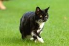 Belgique - un plan de stérilisation obligatoire des chats domestiques