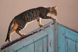 Belgique - loi qui autorise le tir des chats errants