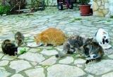 Identification des chats : le tatouage ou la puce sont obligatoires