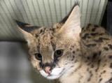 Australie -  L'Australie interdit l'importation des chats Savannah