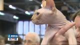 Belgique -  Les plus beaux chats défilent à Namur Expo