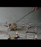 concours de saut d'obstacles  pour un chaton