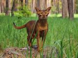 Les chats (races) les plus anciens du monde