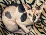 10 races de chat au look incroyable