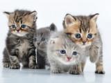 Les races de chats les plus populaires du monde