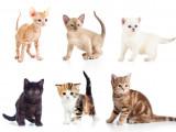 Les origines des races de chat