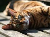 Les 10 races de chats les plus populaires en France