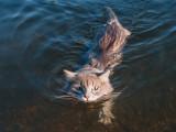 10 races de chats qui aiment l'eau