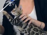 Le Bengal, un chat sous haute surveillance en Belgique
