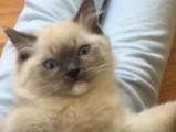 Premier jour d'adoption d'un Ragdoll