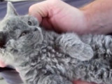 Présentation des chats frisés
