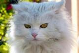 Un chat persan de Birmanie s'installe au Bristol
