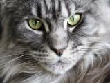 Le Maine Coon, le plus populaire des chats de race en France en 2016