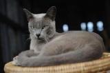 le chat birman de retour sur sa terre natale