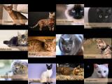 Présentation de 12 races de chats