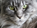 Le Maine Coon, le plus populaire des chats de race en France en 2016