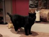 Oscar, le premier chat doté de pattes artificielles