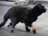 Un vétérinaire bulgare greffe des pattes artificielles à un chat