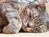 Le coryza ou grippe du chat