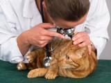 L'otite du chat : formes, symptômes et traitements