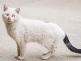 Le Typhus du Chat