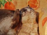 L'atopie chez le chat : causes et traitements