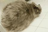 Aux USA, la moitié des chats est en surcharge pondérale
