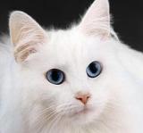 Des insecticides qui tuent les puces… et les chats
