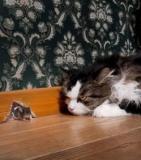 Un parasite fait perdre aux souris la peur des chats