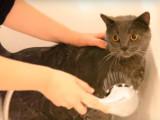 Un chat chartreux dans la baignoire....pour enlever des puces