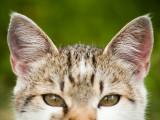 Les maladies d'oreille du chat : prévention, détection et traitement