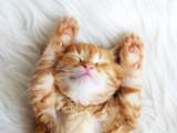 Le sommeil chez le chat